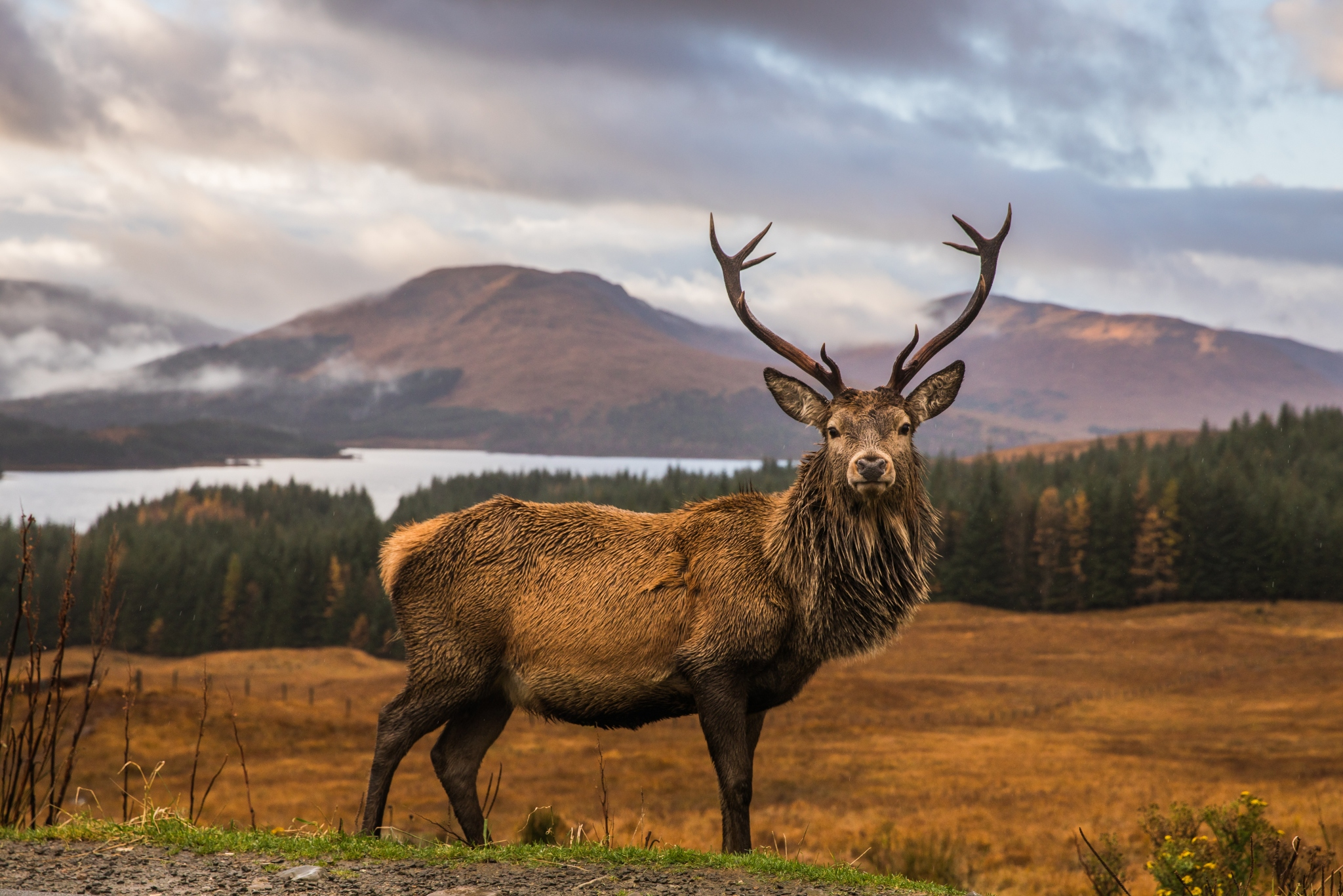 History of the Legendary Scottish Stag