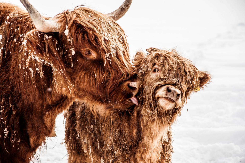 Scottish Cow Bovine and Calf