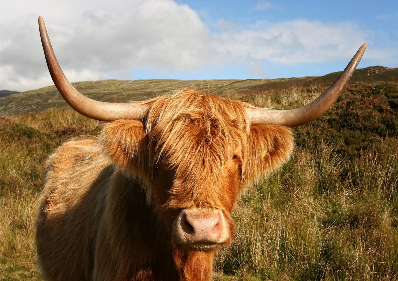 Scottish Highland Coo