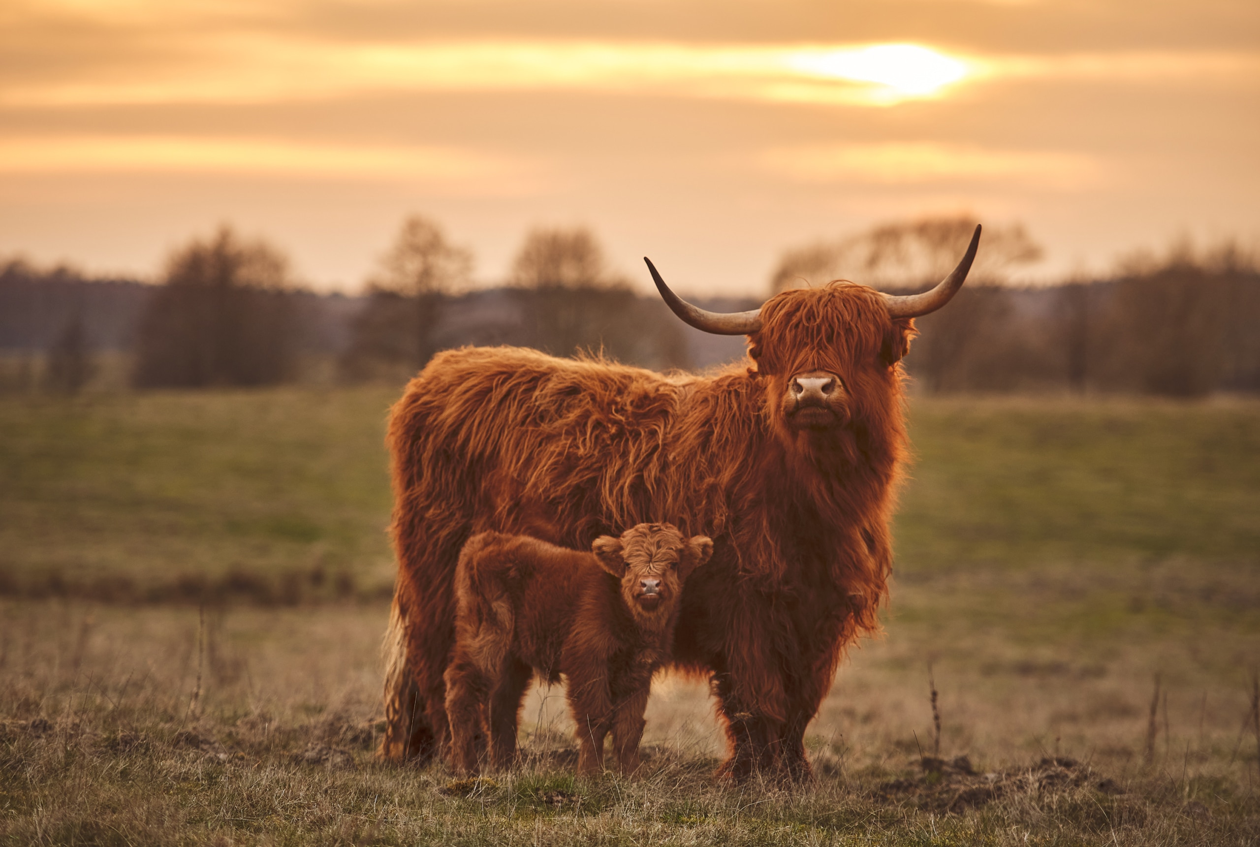 All About the Highland Coo