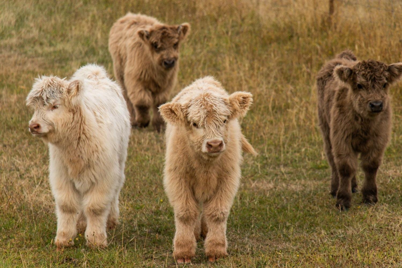 Highland Coo calves