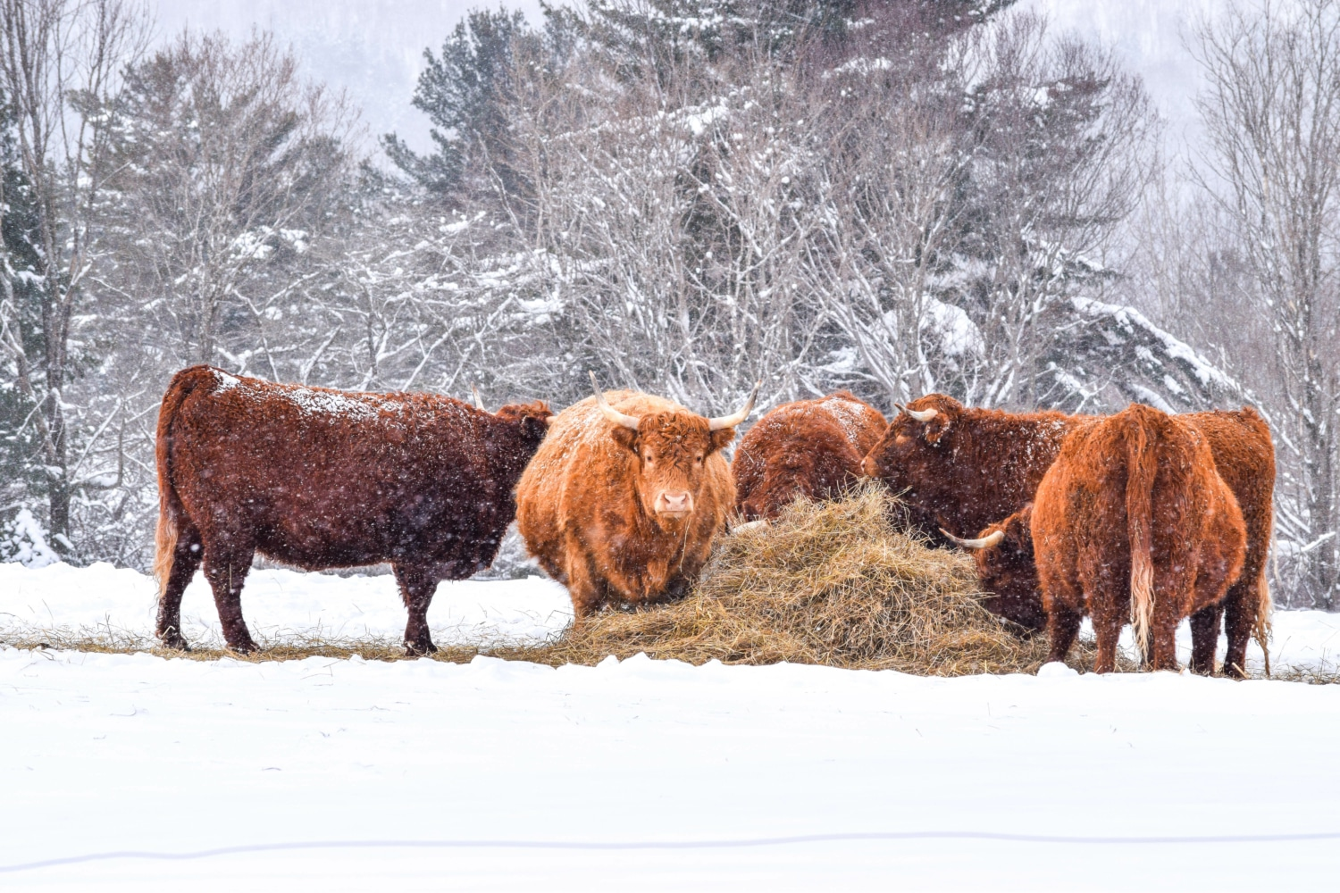 Highland Coos eating hay in winter