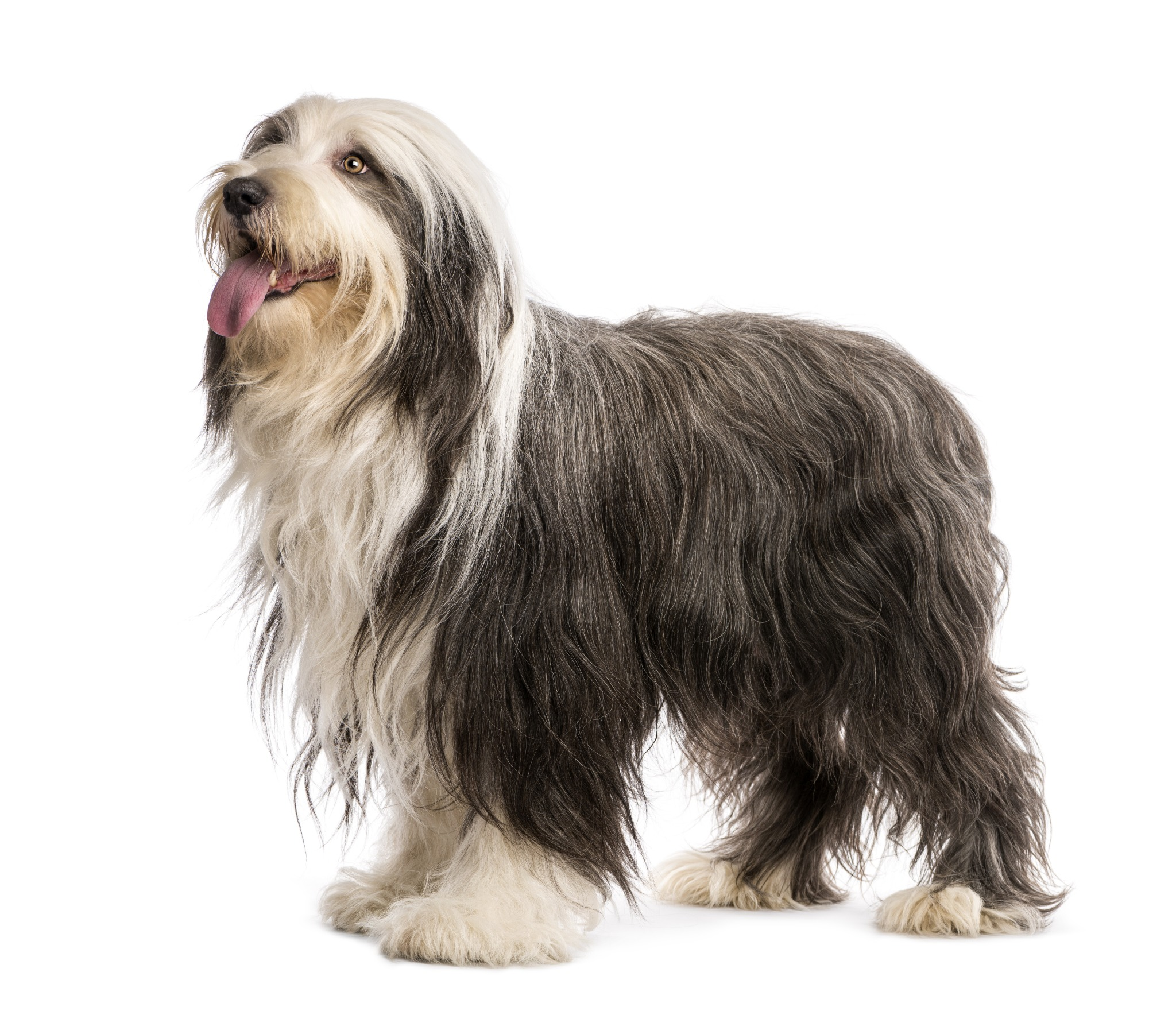 A portrait of a Bearded Collie. A Bearded Collie is a Scottish Dog breed