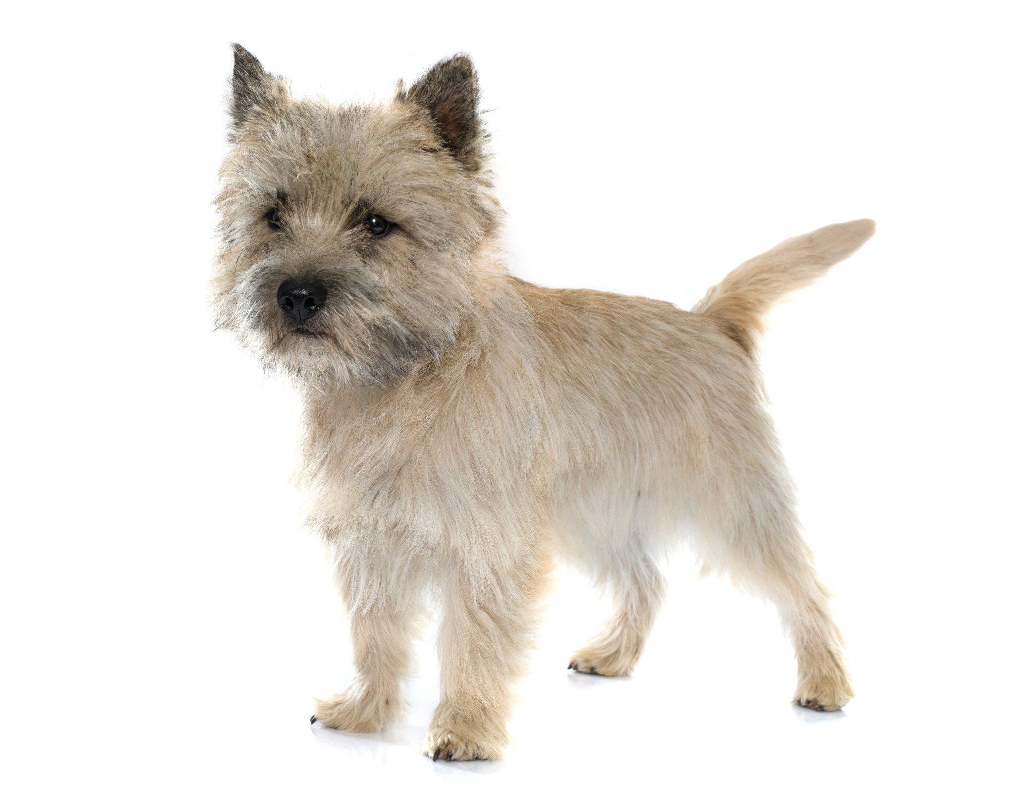 A portrait of a Cairn Terrier