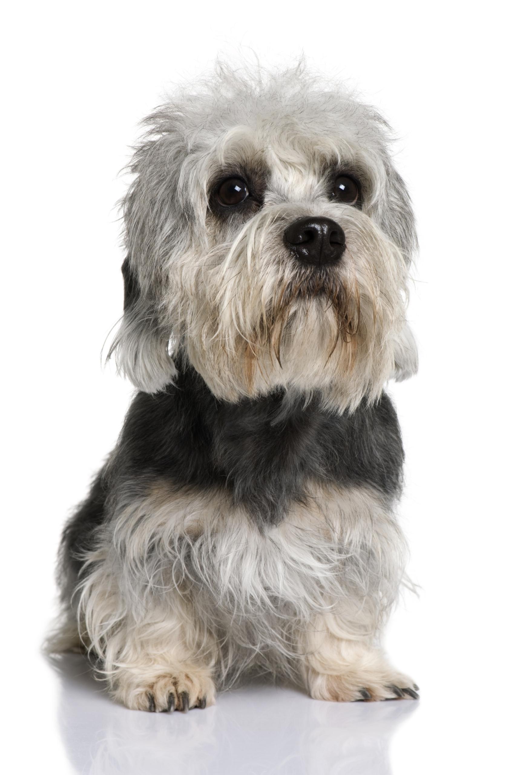 A portrait of a Dandie Dinmont Terrier