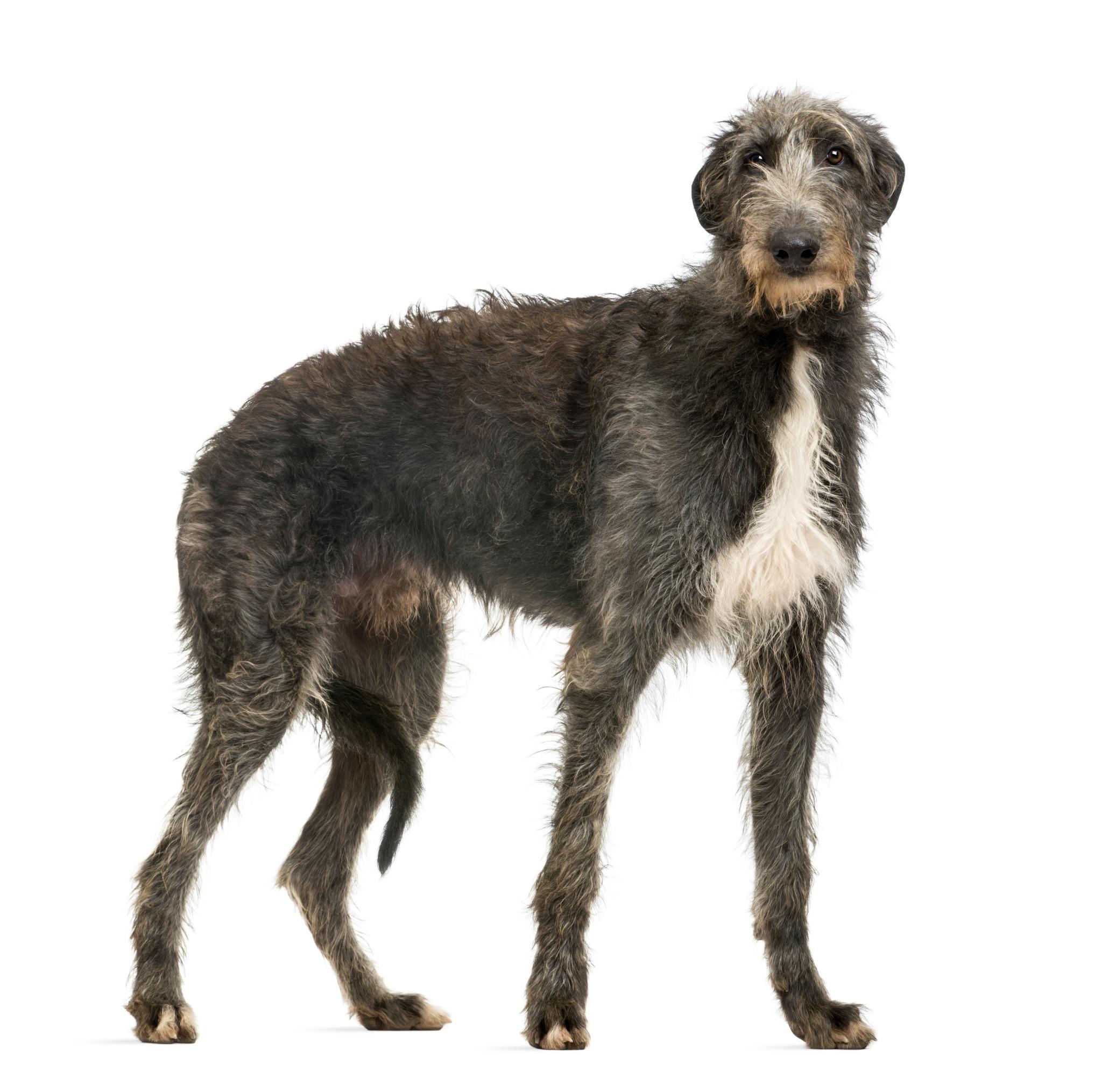 A Scottish Deerhound