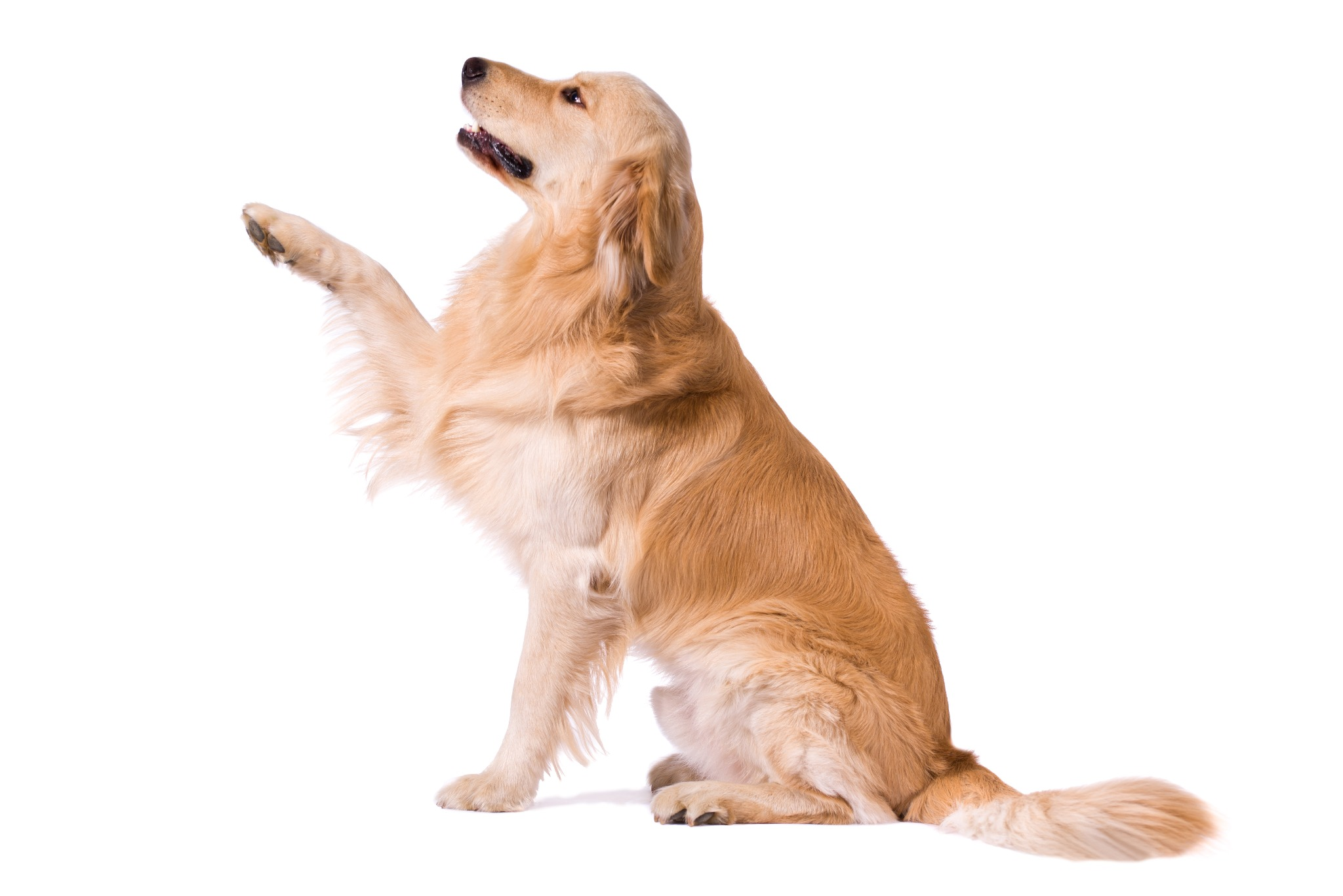 """A portrait of a Golden Retriever doing the trick for """"shake"""""""