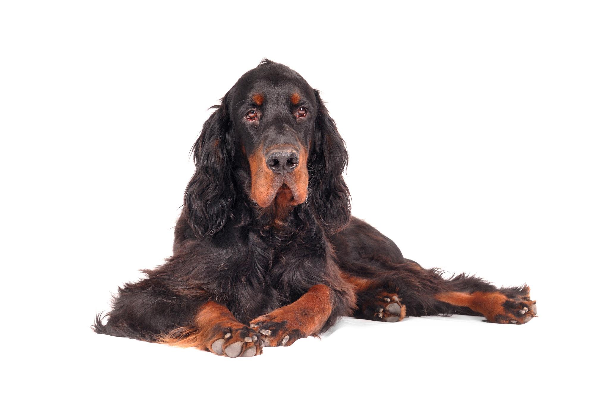 A portrait of a Gordon Setter, a Scottish dog breed.