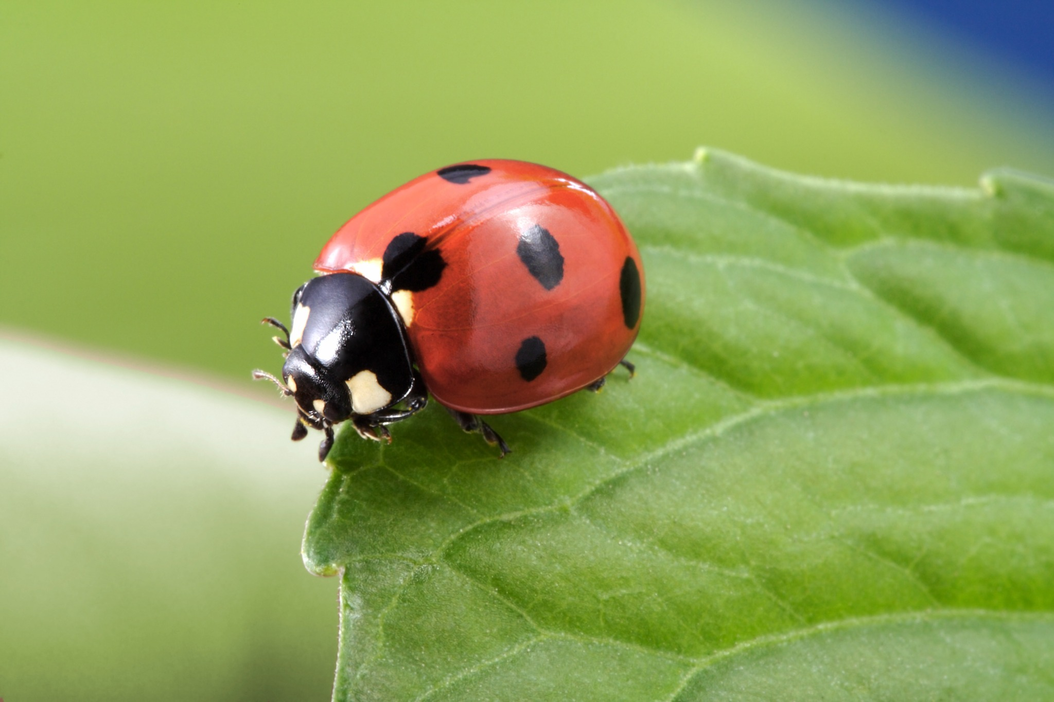 A lady bug on a leaf. Buwch goch gotais a Welsh word that is a term of endearment, and means ladybug.