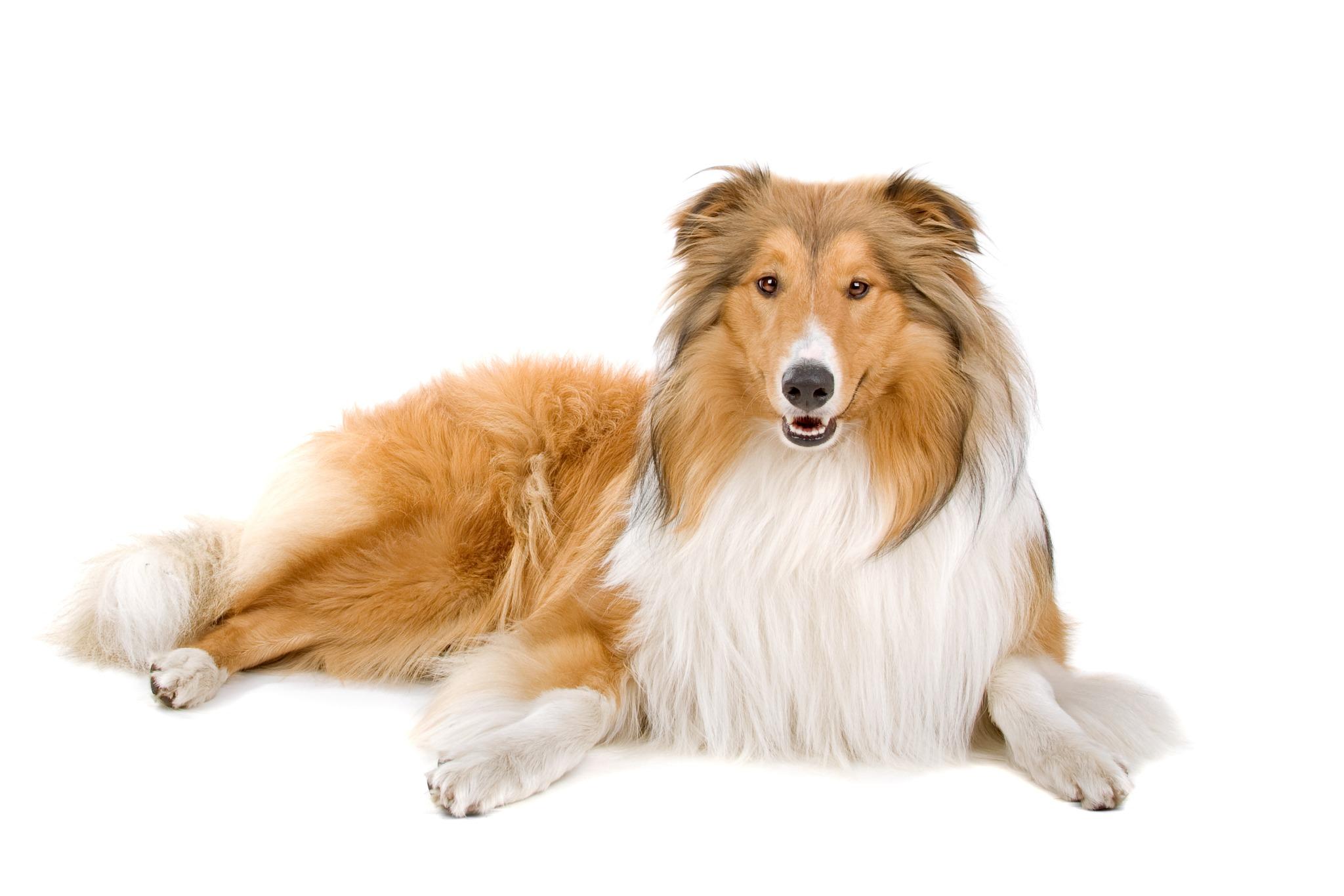 A portrait of a Rough Collie dog