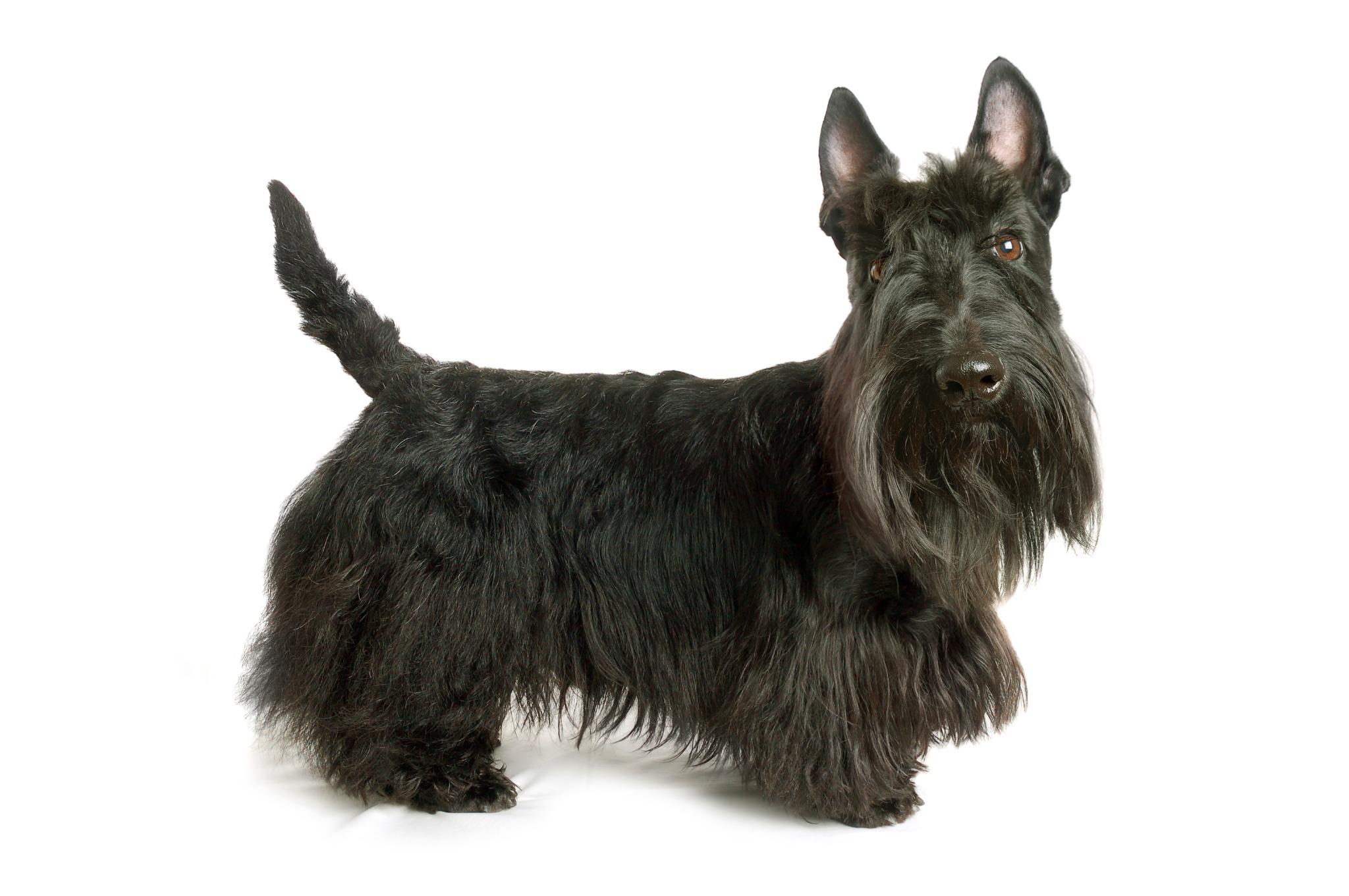 A portrait of a Scottish Terrier
