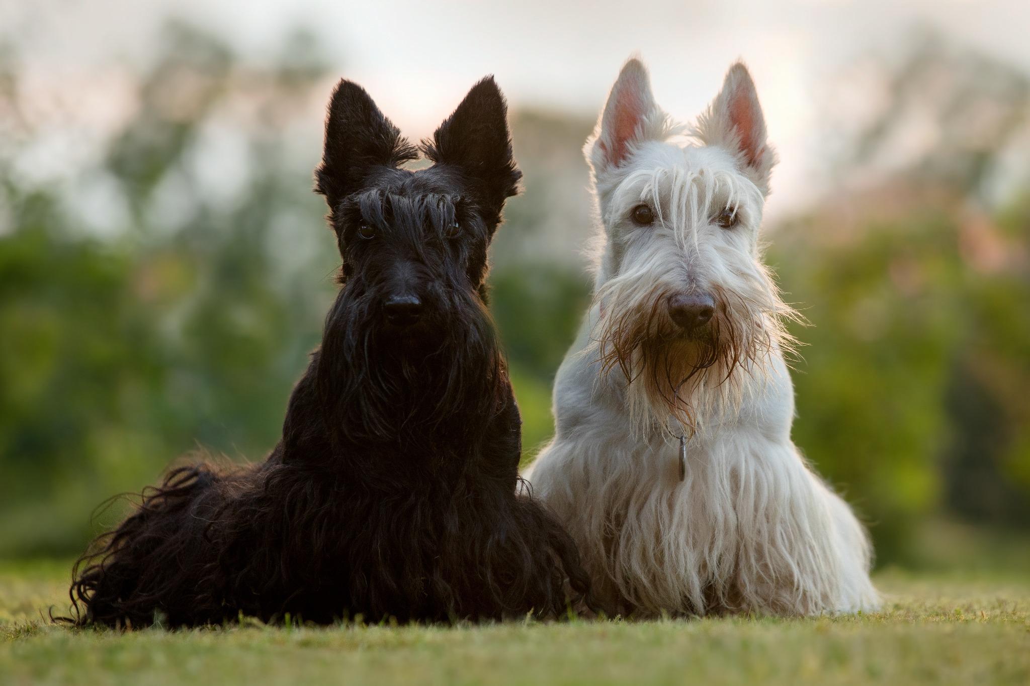 A Scotsman's Best Friend: Scottish Dog Breeds