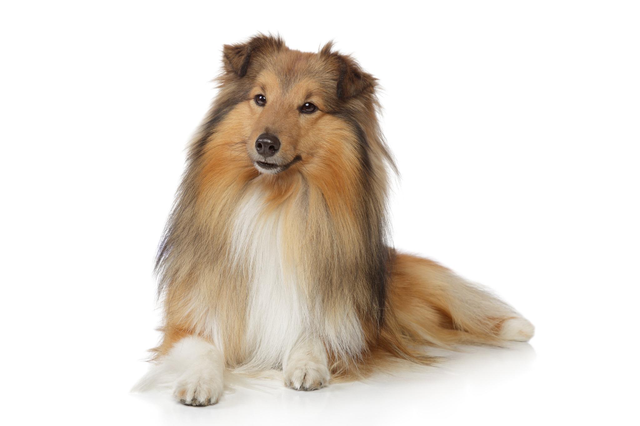 A Shetland Sheep Dog