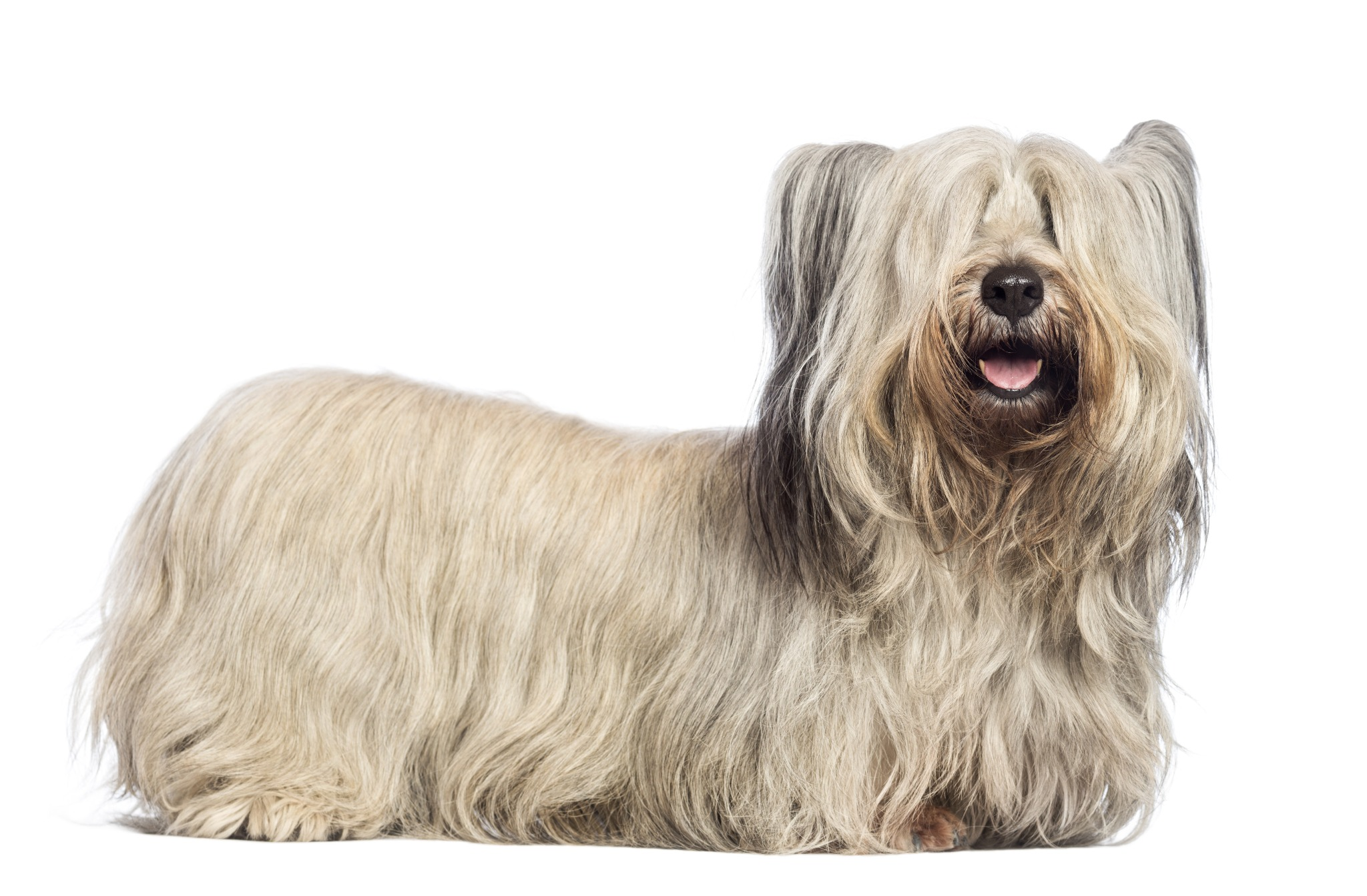 A portrait of a Skye Terrier. They are a Scottish dog breed.