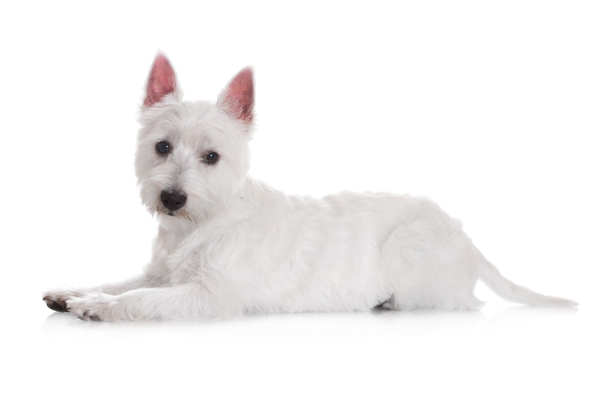 A portrait of a West Highland Terrier.